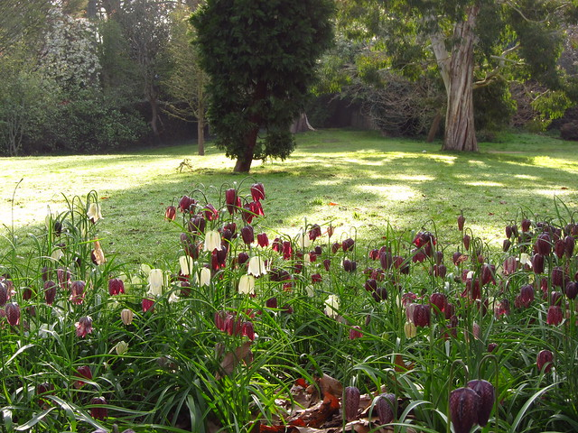 Snake 39 S Head Fritillaries In Cannizaro Park Wimbledon Flickr Photo Sharing