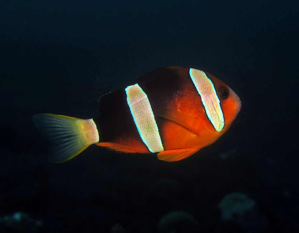 Maroon clownfish  - Amphiprion tricinctus