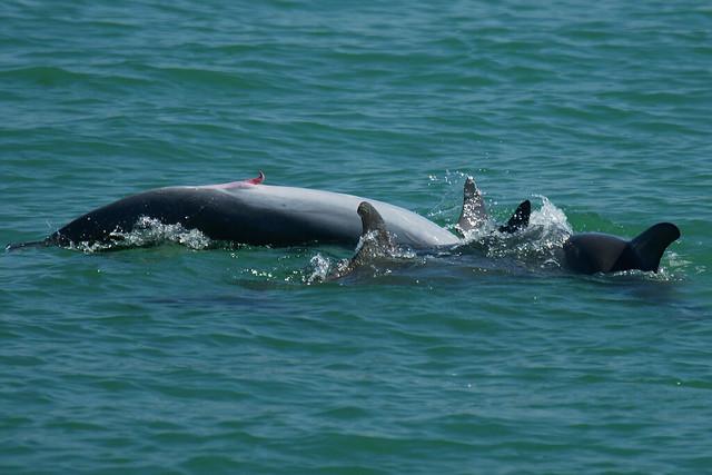 Bottlenose Dolphins Mating  Bottlenose Dolp...