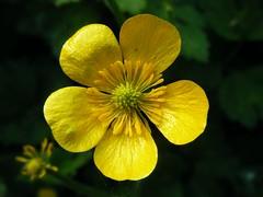 Flora Galega / Wildflowers in Galicia (+ 90.000 visitas)