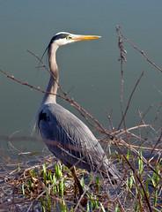 green heron(0.0), great egret(0.0), wetland(1.0), animal(1.0), wing(1.0), fauna(1.0), little blue heron(1.0), heron(1.0), pelecaniformes(1.0), shorebird(1.0), beak(1.0), bird(1.0), wildlife(1.0), egret(1.0),