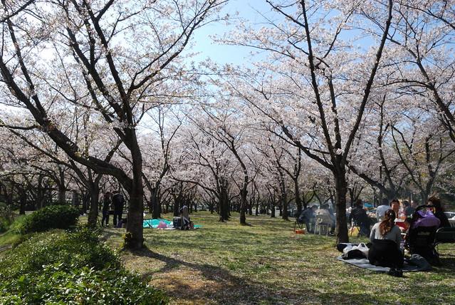 Hanami in Heiwa Koen in Nagoya-shi, Japan. Photo by Keight Beaven. All rights reserved.