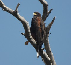 Harris's Hawk, Sweetwater Wetlands, Tucson, AZ