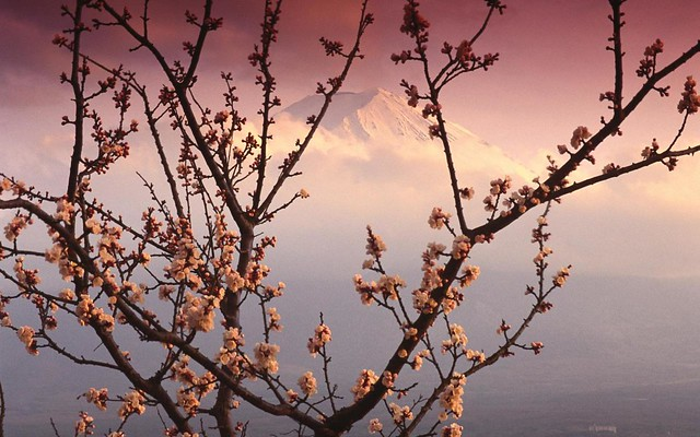Mount Fuji through cherry blossoms by CC user pictruer on Flickr