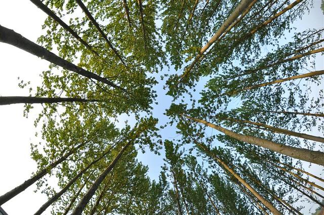 Las arboledas en el lago son fantásticas, ... altos árboles, geniales perspectivas :) Willen Lake de Milton Keynes, más que un lago ... un estilo de vida - 5640442679 deb0c3e088 z - Willen Lake de Milton Keynes, más que un lago … un estilo de vida