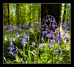 Bluebells at West Woods