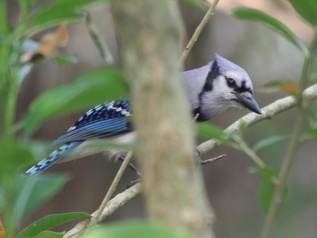 Blue Jay 20110425