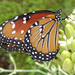 Queen butterfly - Photo (c) David Bygott, some rights reserved (CC BY-NC-SA)