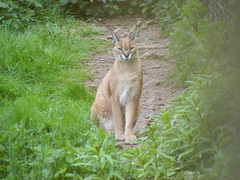 cougar, animal, small to medium-sized cats, mammal, fauna, wild cat, wildlife,