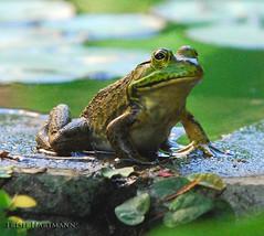 Bull Frog, Rana catesbeiana by trishhartmann
