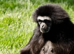 gibbon, animal, monkey, mammal, fauna, wildlife,