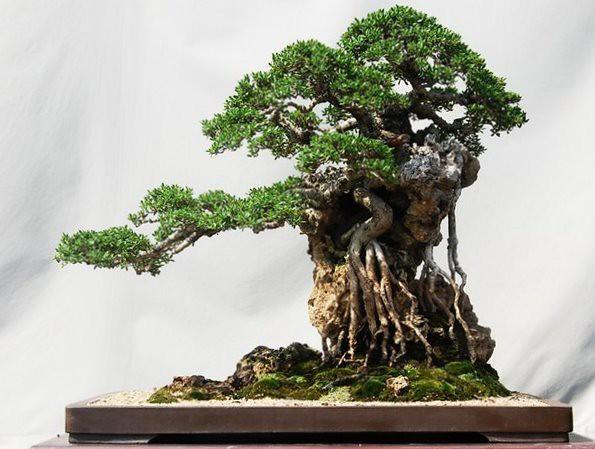 Colection photos bonsai indonesia 11 bonsai work by for Unique bonsai trees