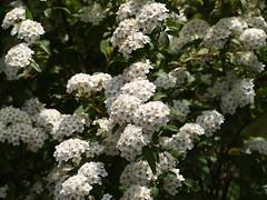 blossom, flower, branch, plant, flora, meadowsweet, viburnum,