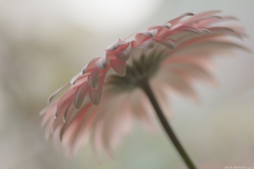 160 of 365 - Baby Pink Daisy