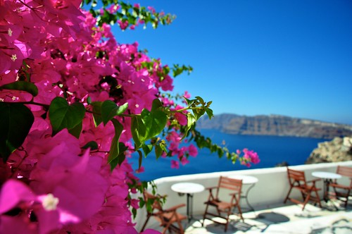 bougainvilia photo