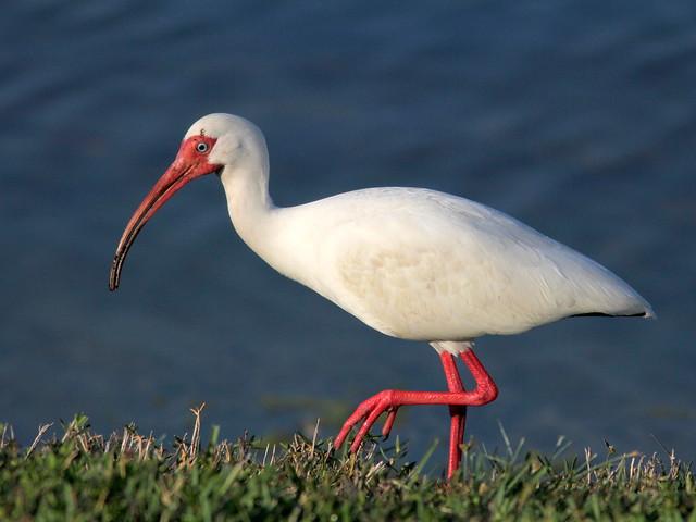 White Ibis 2-20110330
