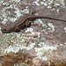 Plateau Fence Lizard - Photo (c) Carla Kishinami, some rights reserved (CC BY-NC-ND)