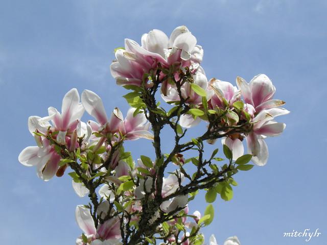 Magnificent Magnolia 2
