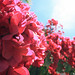 bougainvilla_web