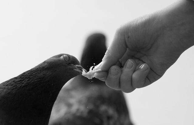pigeon miamiam