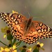 Variegated Fritillary - Photo (c) Ken Slade, some rights reserved (CC BY-NC)