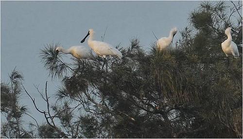 黑面琵鷺在學甲溼地生態園區棲息、練習築巢。(攝影:李進裕)