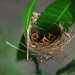tailor bird by Muhammad Rubel Miah