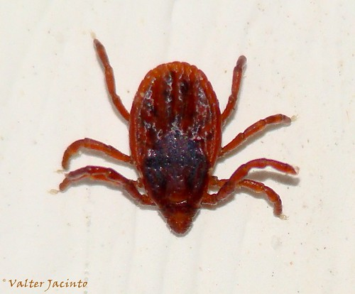 Carraça // Brown Dog Tick (Rhipicephalus sanguineus), female