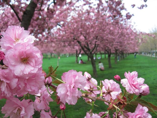 Prunus 'Kanzan'. Photo by Rebecca Bullene.
