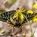 swallowtail on a yellow flower