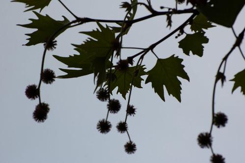 Plane tree flowering