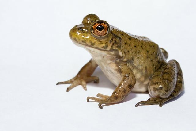 Lithobates Catesbeianus Bullfrog Flickr Photo Sharing