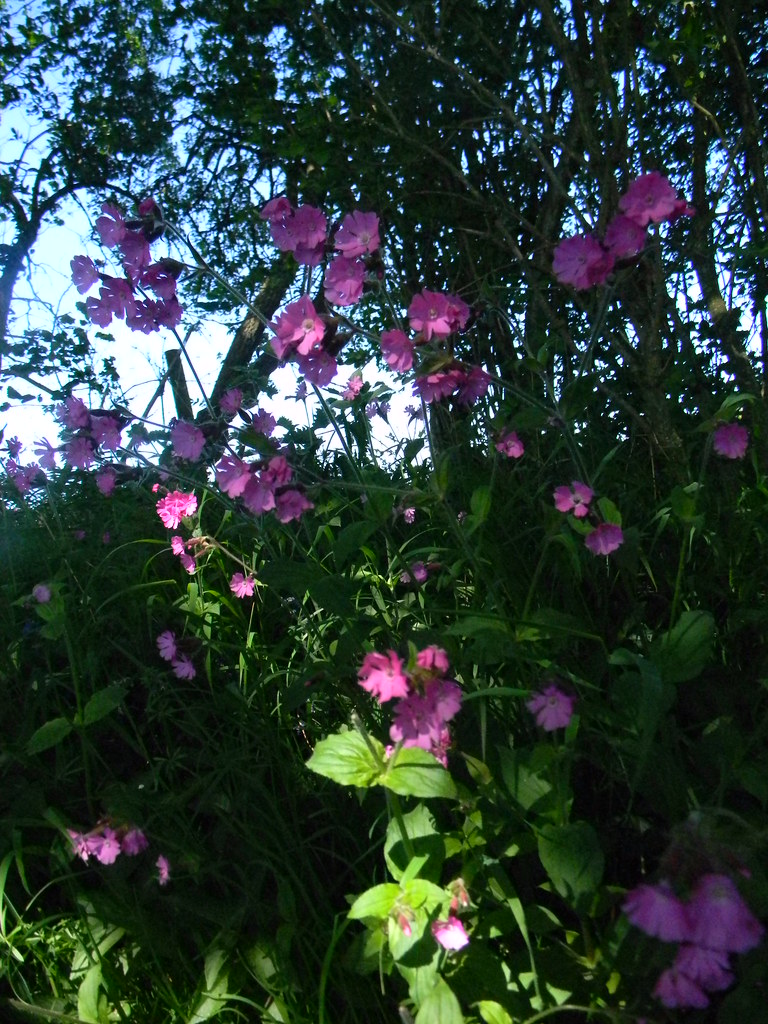 Red Campion Ockley to Warnham
