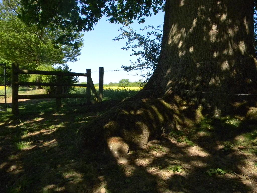 Tree with rapefield Ockley to Warnham