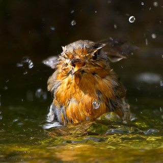 Robin Bath Time