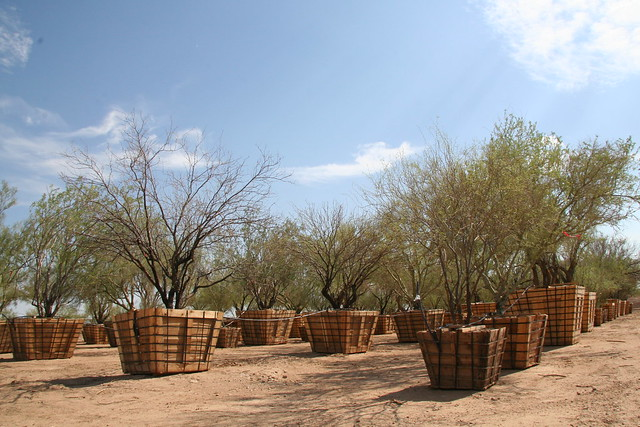 Cacti and trees replanted along the 303