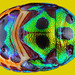colorful stink-bug's shield by nanomet's