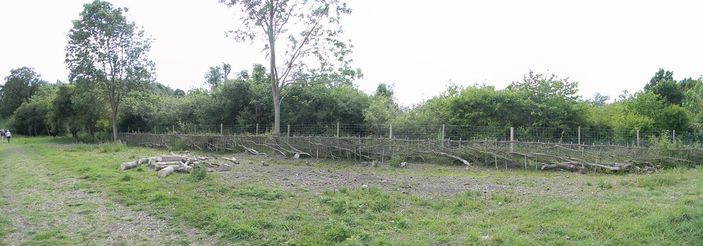 Laid hedge, Wittenham Clumps Appleford Circular