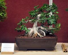 flower(0.0), produce(0.0), plant(1.0), sageretia theezans(1.0), houseplant(1.0), bonsai(1.0),