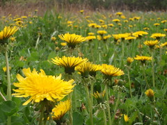 annual plant, prairie, dandelion, flower, field, yellow, plant, sow thistles, flatweed, herb, wildflower, flora, meadow, grassland,