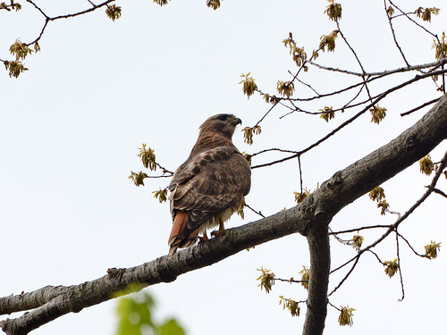 Red-Tailed Hawk (7680)