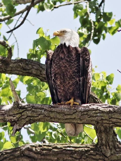 Bald Eagle Mooseheart 2-20140521