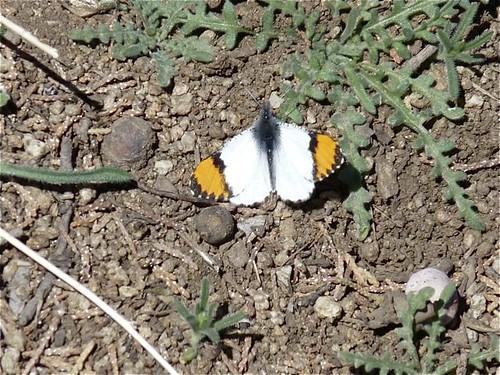 Sara Orangetip, Aguirre Springs
