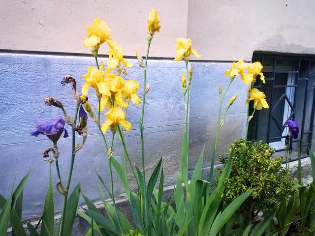 street flowers, irises. Lviv, Ukraine