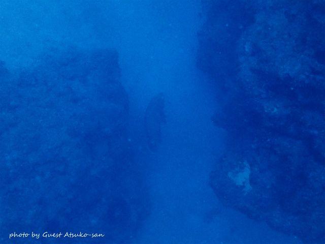 深場を見るとナポレオンフィッシュのカップル発見!