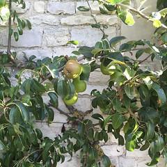 A full wall of Williamson #pears 😍 #hostellerielamontagne