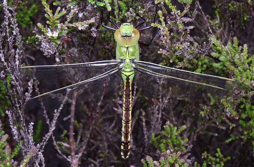 Emperor Dragonfly Newly Emerged Female