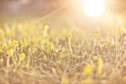 flowers sunset sun flower photoshop golden washington textured lightroom goldenlight 4thofjulyweekend thegoldenhour holidayweekend lakecavanaugh 50mmf12l canon5dmk2 travislawton travislawtonphotography