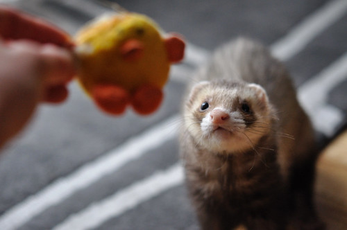 Horatio's favourite toy: Mr. Ducky. 52 weeks of ferrets (15/52)