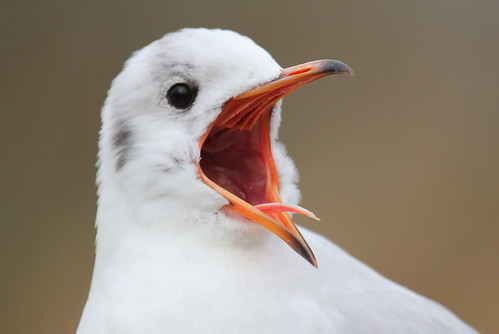 Black-headed Gull - Help!!!! He's got a camera!!!!